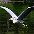 egret in low level flight